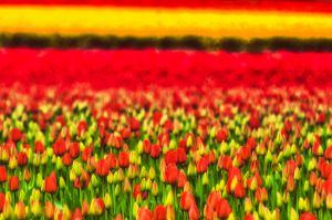 0453_Skagit_tulips-Edit-Edit.jpg